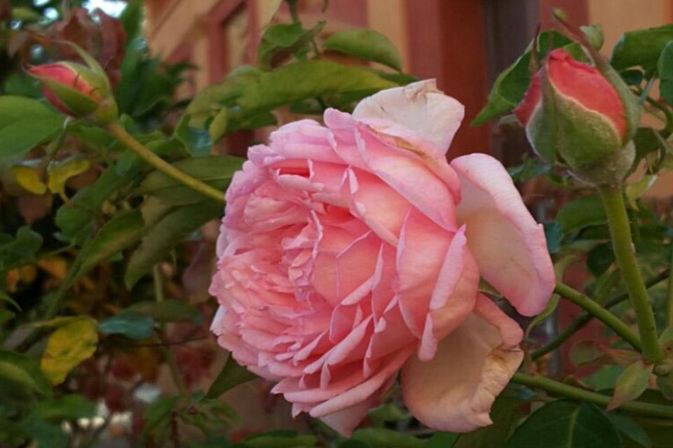 Rosa indica Linneo