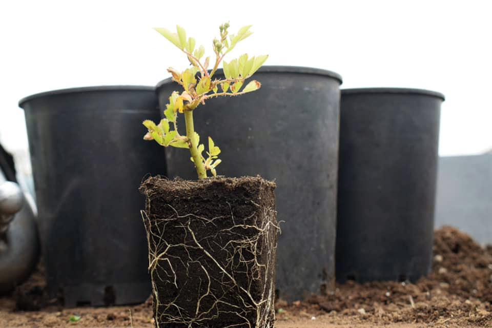 Perchè produciamo rose solo da talea