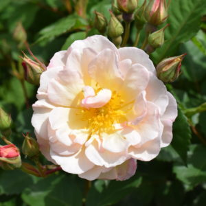 Rose Moschata
