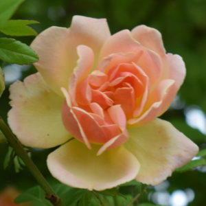 Polyantha