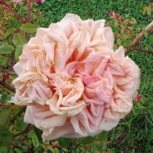 Rose Ritrovate