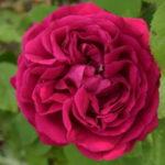 Rosso Tiziano